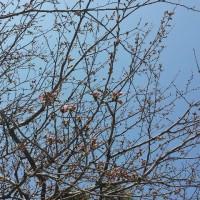 若宮大路の桜